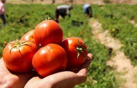 نخستین گوجهفرنگی شبیه به انگور تولید شد